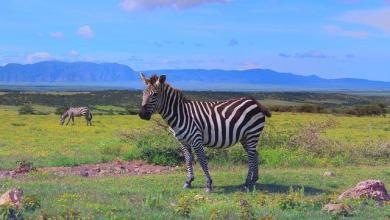 African Noah's Ark: Why Tanzania animals can't leave Ngorongoro Crater