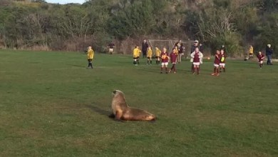 Sea lion suspends football match in New Zealand