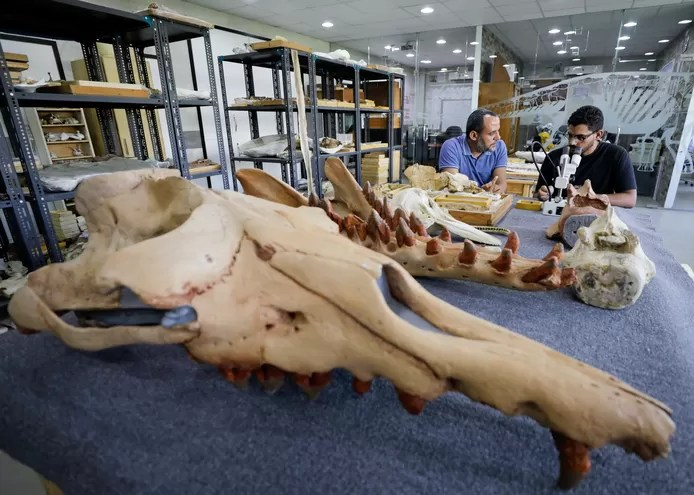 The head of the 43 million year old whale