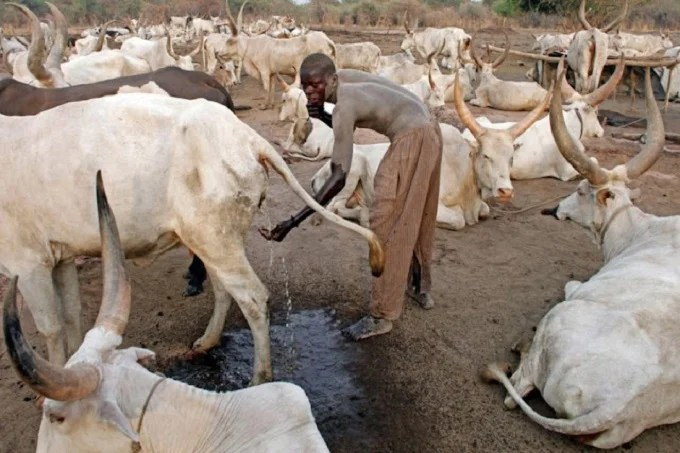 This Africa tribe fights infections by bathing with cow urine