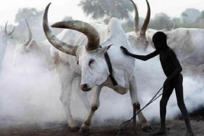 Mundari tribe bathing their cow