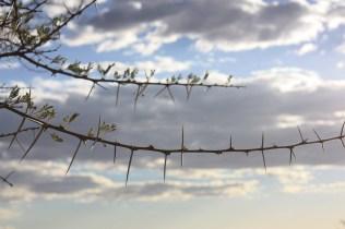 En Namibie, de nombreuses plantes portent des épines / In Namibia, many plants have thorns