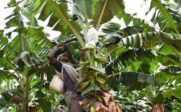 cameroun et banane