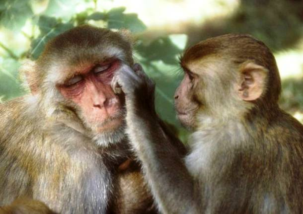 Les macaques rhésus 20 des animaux les plus intelligents au monde