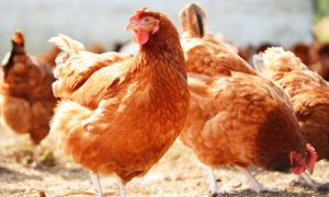 How to be a successful poultry farmer