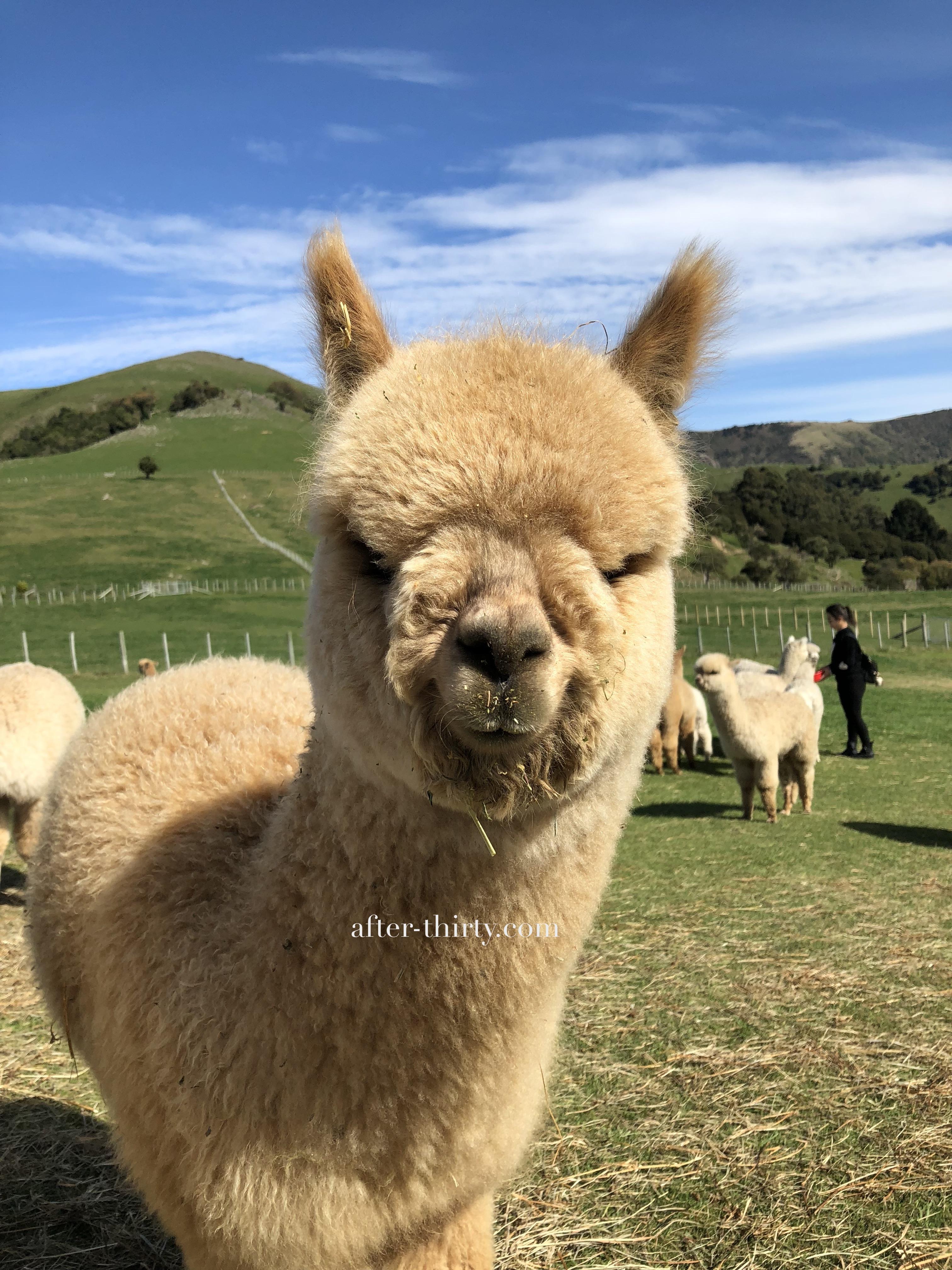 紐西蘭阿卡羅阿莎玛拉羊駝牧場