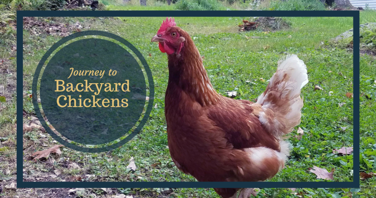 Our Journey to Backyard Chickens