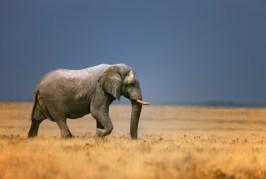 Elephant in frassfield