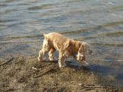 "Testing the waters at Lake Texoma. ""Look, Mom! I'm a spaniel!"""