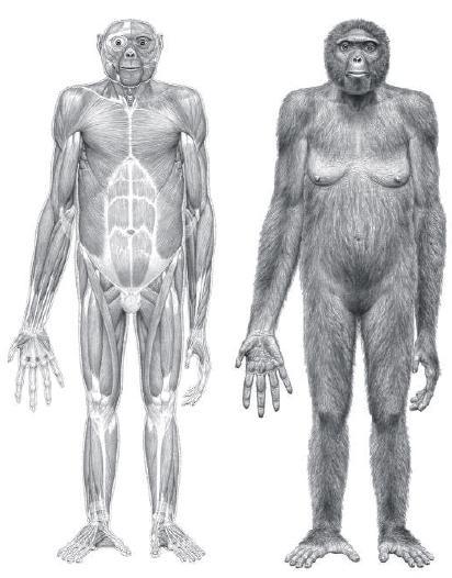 Ardipithecus ramidus. 4.4 MYO. Illustration: Jay Matternes, Science Magazine