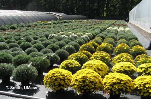 Greenhouse Floriculture Growing Garden Mums For Fall Sales Umass Center For Agriculture Food And The Environment