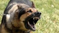 عاجل:عناصر الشرطة تطلق 7 رصاصات لإيقاف بيتبول هائج وجهه ضدهم مجرم خطير