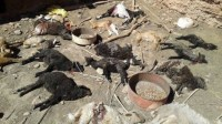 بالصور:حيوان مفترس يرتكب مجزرة في حق قطيع من المواشي بطاطا