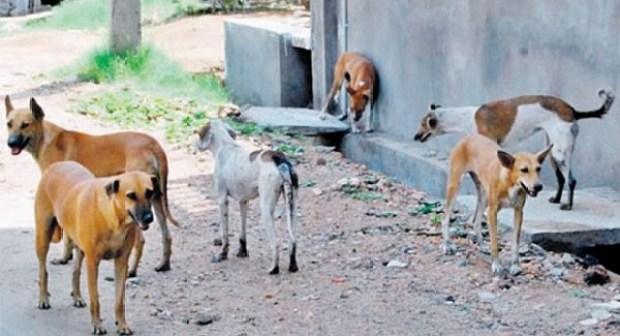 خطير:كلاب ضالة تهاجم طفلة وتنهش ساقها بأكادير