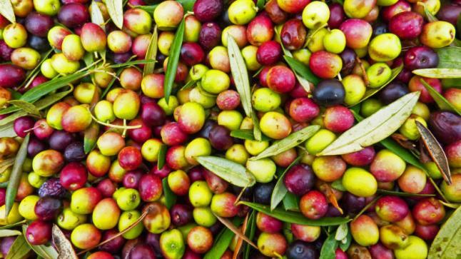 """أخنوش """"إنتاج الزيتون هذه السنة تراجع بـ26 في المائة"""""""