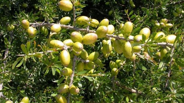 """منظمة الأمم المتحدة تحتفل بـ """" شجرة الأركان """" بأكادير"""