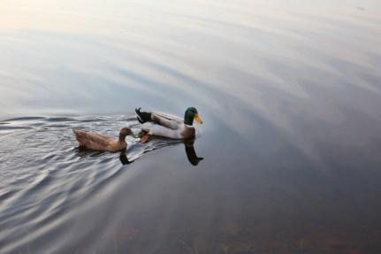 Khaki and Green Beak in the lake