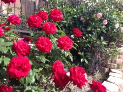More roses....