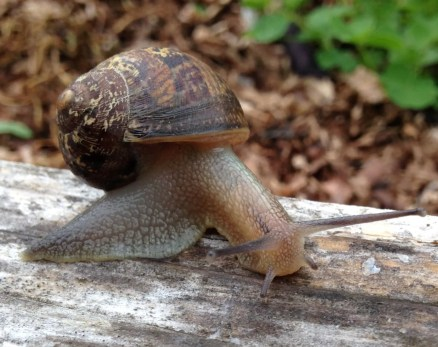 The European Brown Snail