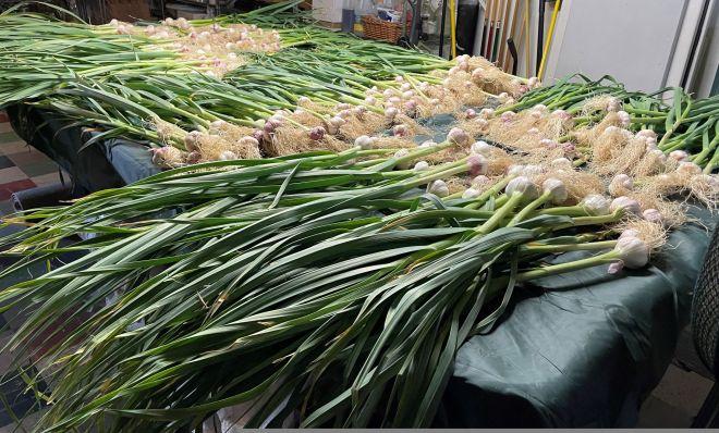 garlic on pool table