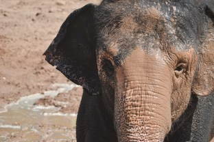 Riba happily enjoys the water from the Fire Department on Elephant Appreciation Day at the Phoenix Zoo in Tempe, Arizona on September 27, 2015.