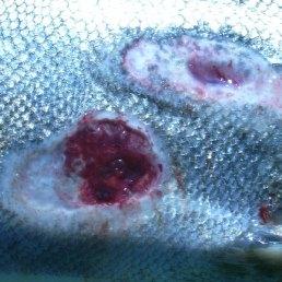 Lamprey-wounds
