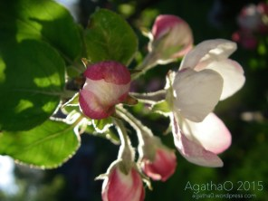 Apple Blossom Time 007 (1)