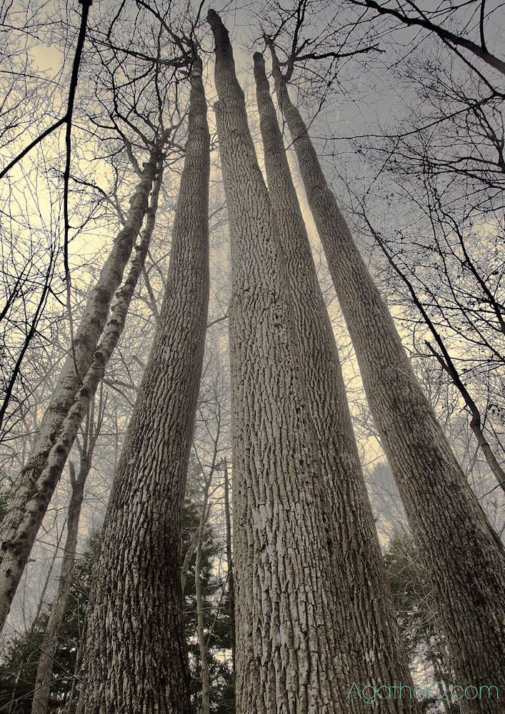 Tall ash trees nature art photography and greeting card by AgathaO