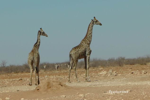 Souvenir de girafes en liberté