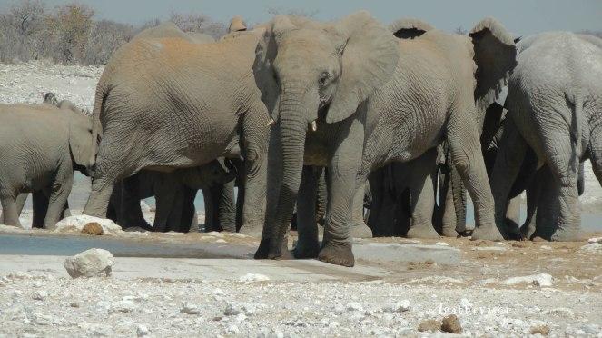 Souvenir d'éléphant en liberté