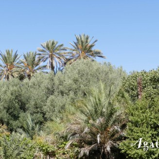 2019DE0613-Tinghir-Palmiers et arbres