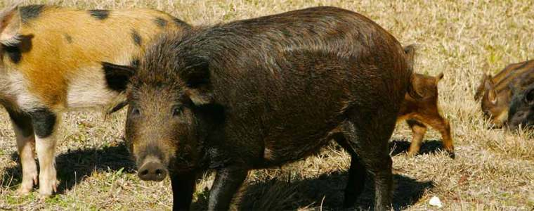 Feral swine male and female with piglets