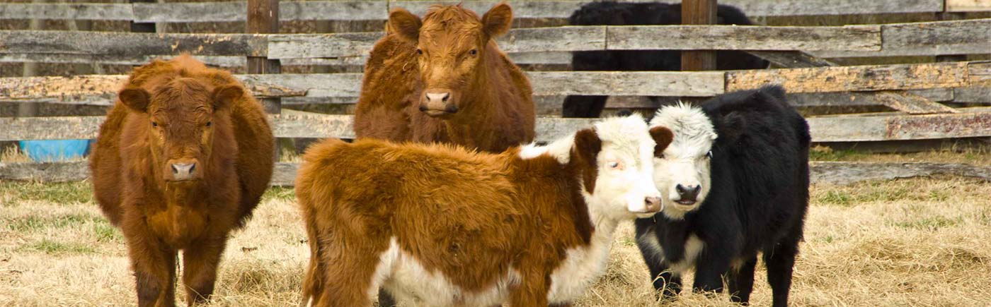 Four beef cows near a fence.