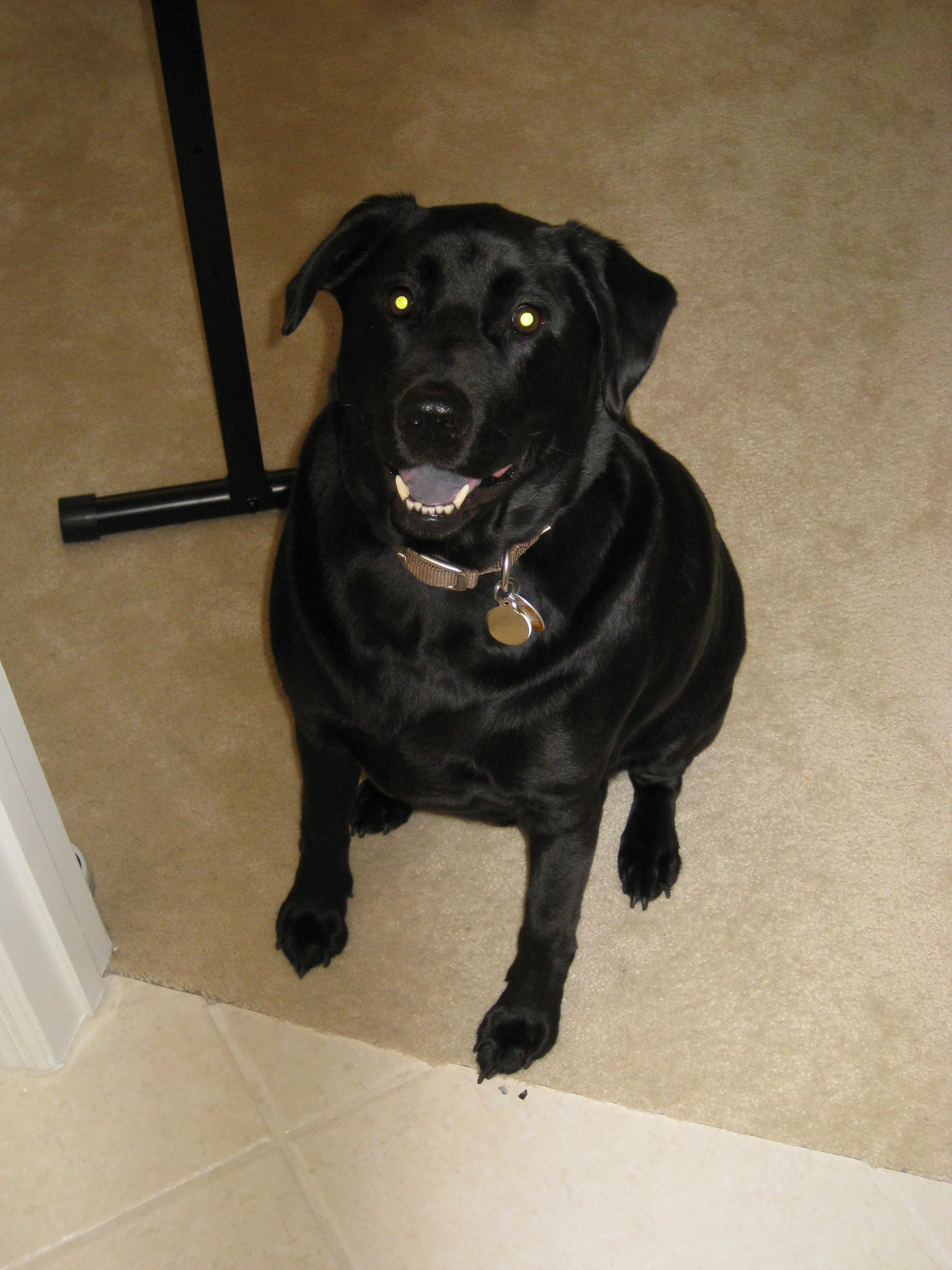 our first granddog - Rebel, the black lab