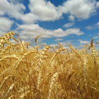 Pão é Trigo e Trigo é Dólar - Ceará começa a produzir trigo com tecnologia da Embrapa