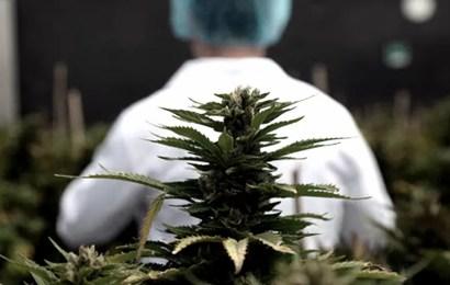 El gobierno bonaerense presentó el proyecto de ley que autoriza el autocultivo de Cannabis
