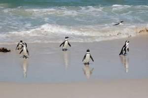 Simonstown African Black foot Penguins