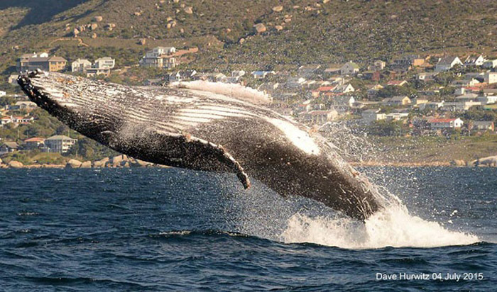 whale watching simonstown