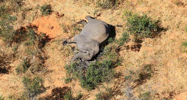Botswana: Buscan resolver el misterio de cientos de elefantes muertos