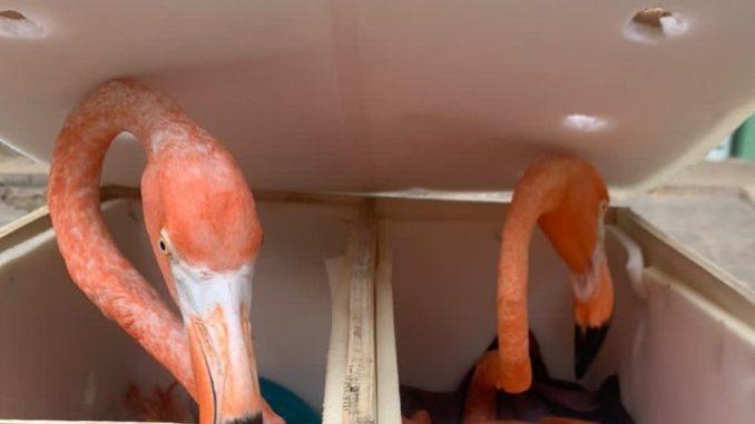 Rescatan cinco flamencos desnutridos y empaquetados en el Aeropuerto de Mérida, uno murió