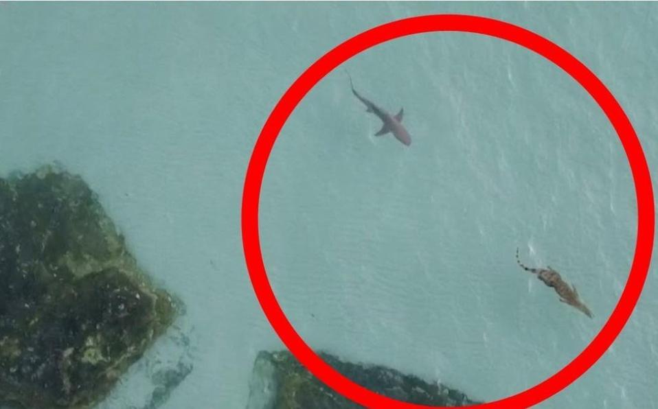 VIDEO: Tiburón persigue a cocodrilo de agua salada y se vuelve viral en redes sociales