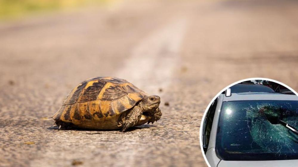 Tortuga 'voladora' sobrevive después de estrellarse en el parabrisas de un auto