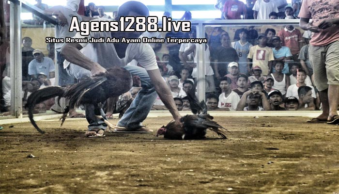Sabung Ayam Online S128, S1288 Live Streaming Di Indonesia
