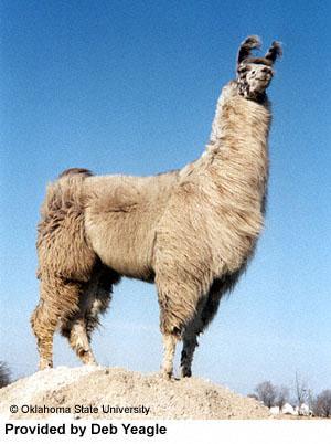 Llama neck!