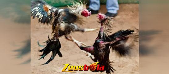 Anda Mesti Kenali Pukulan Ayam Aduan Yang Mematikan