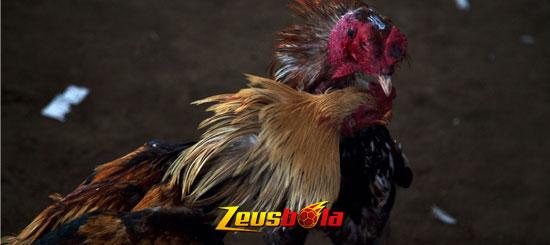Teknik Cara Bertahan Ayam Bangkok Aduan Di Arena
