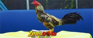 Tips Cepat Menebalkan Kulit Ayam Bangkok Agar Tahan Pukul