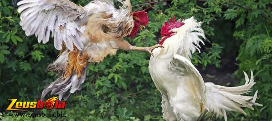 Asupan Gizi Bagi Ayam