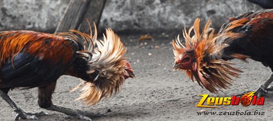 Rahasia Sabung Ayam Bangkok
