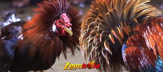 Sabung Ayam Bangkok Istimewa